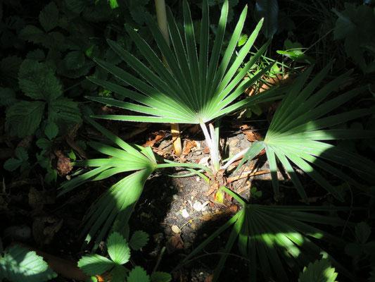Trachycarpus princeps (Marmor-Hanfpalme) im August 2015