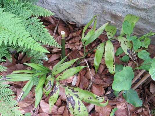 Chamaedroea microspadix im April 2014: Der Hauptstamm hat nicht überlebt