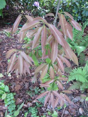 Quercus myrsinifolia, Mai 2014