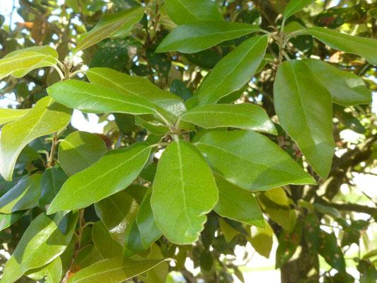 Quercus ilex, Garten in Schaffhausen