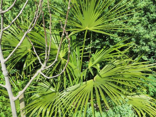 Tessinerpalme (Trachycarpus fortunei)