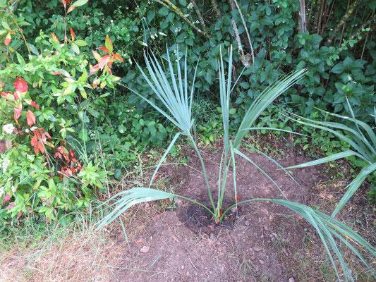 Sabal sp. 'Riverside' (frisch gepflanzt)