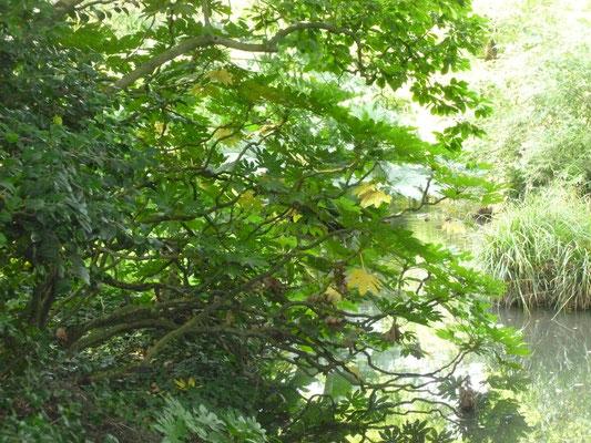 Fatsia japonica am Teich