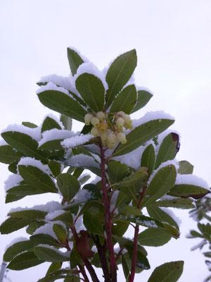 Arbutus unedo in Schaffhausen im Schnee