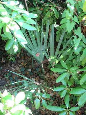 Trachycarpus takil (Kalamuni) im September 2016