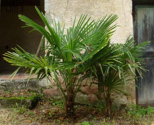 2x Trachycarpus fortunei im Oktober 2012 (Sehr zügiges Wachstum!)