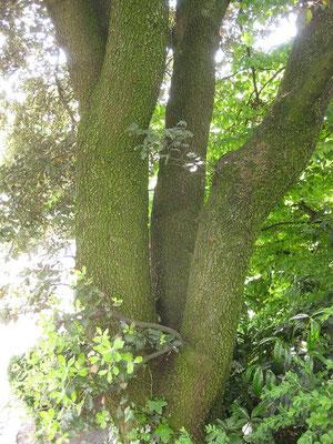 Quercus ilex, Botanischer Garten Zürich