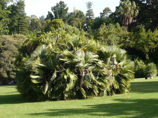 Chamaerops humilis in Mlebounre, Australien