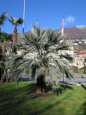 Brahea armata (Blaue Hesperidenpalme) im Tessin