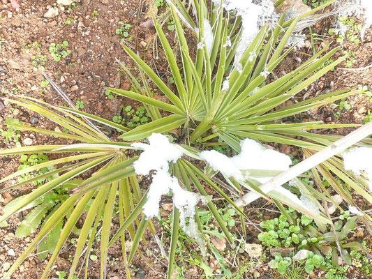 Trachycarpus nanus im Februar 2010