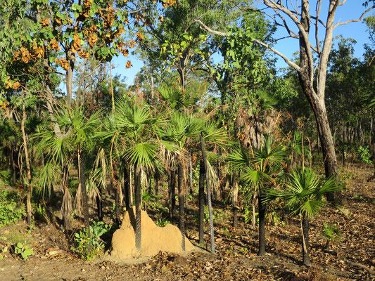 Livistona humilis, Sand Palm