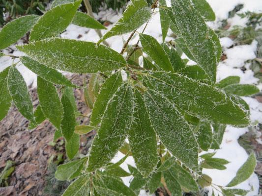 Quercus myrisinifolia, Januar 2015 nach - 13 °C: keine Blattschäden!