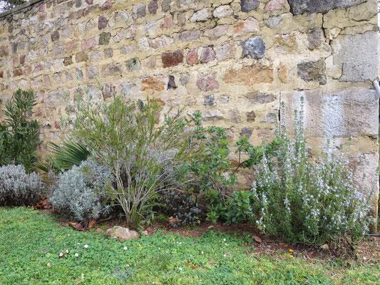 Lanvendel, Callistemon rigidus, Arbutus unedo, Olivenbaum