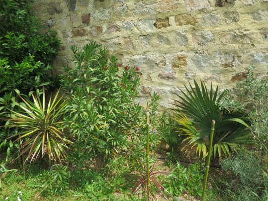 Laurus nobilis, Yucca aloifolia, Sabal sp.(unbekannt)