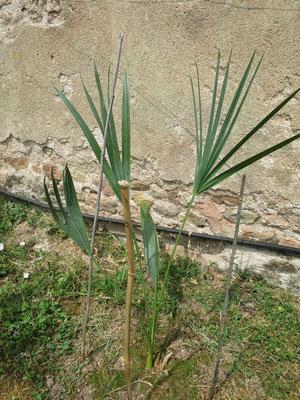 Sabal palmetto (frisch gepflanzt, selbst aus Samen gezogen vor 8 Jahren)