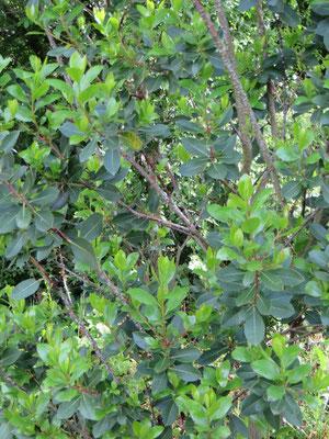 Arbutus unedo, Erdbeerbaum