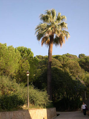 Washingtonia filigera, Barcelona, Spanien