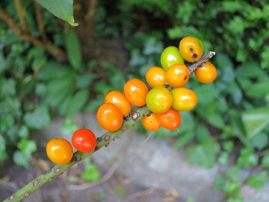Fruchtstand von Chamaedorea radicalis