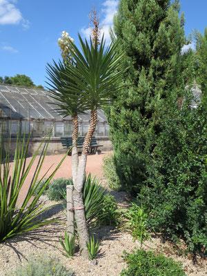 Yucca alofolia (Spanisches Bajonett) im Botanischen Garten von Lyon