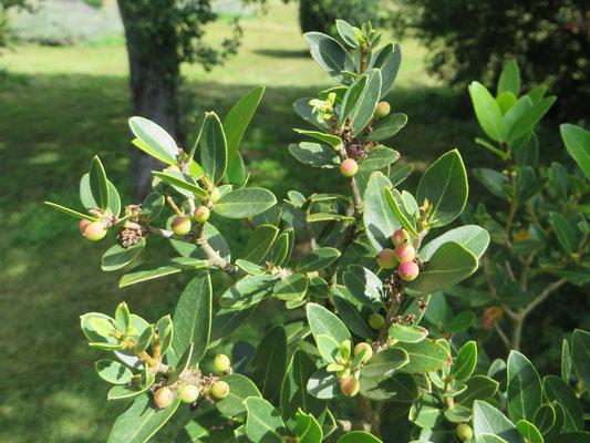 Phillyrea latifolia (Breitblättrige Steinlinde)