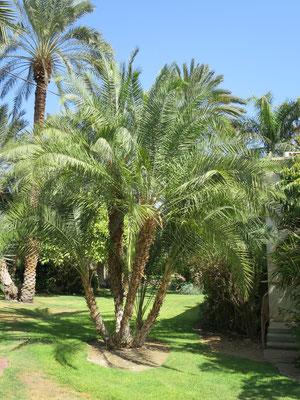 Phoenix reclinata (Senegal-Dattelpalme) in En Gedi, Israel