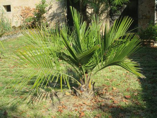 Jubaea chilensis (Chilenische Honigpalmen)