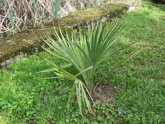 Sabal minor einen Monat nach der Auspflanzung im Mai 2015 im Burgund