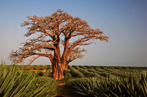 Auf der fruchtbaren Ebene dehnen sich Bananen-, Kokos- und Sisalplantagen aus, überragt von mächtigen Baobabs