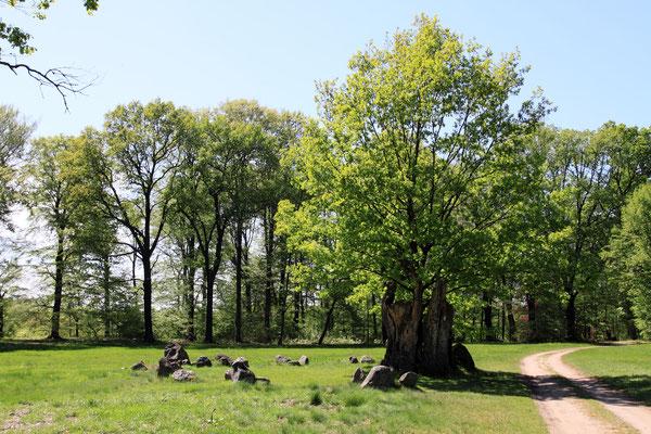 Die mächtige Hermanns-Eiche mit germanischer Kultstätte, 1987 durch Brandstiftung vernichtet. Inzwischen wurde ein Nachfolger in den Torso hinein gepflanzt