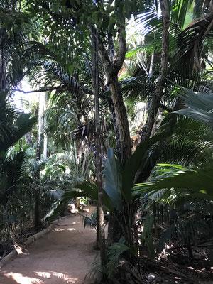 Im Herzen der Insel Praslin liegt das prähistorische Vallee` de Mai (Maital).Er ist der Rest eines prähistorischen Waldes,der einst den Kontinent Gondwana,bestehend aus den heutigen Kontinenten Südamerika, Afrika, Antarktika, Australien und Indien,bildete