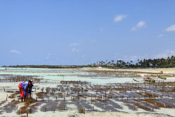 Während die Männer beim Fischen sind, kümmern sich die Frauen im flachen Meerwasser auch um den Anbau von Seegras. Dieses wird an Schnüren befestigt, die auf kleine Holzpflöcke gespannt sind.