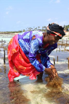 Für die Frauen der Ostküste bedeutet der Verkauf von Seegras ein Stück Unabhängigkeit. Alle zwei Wochen kommen sie aus den Dörfern, um bei Ebbe das Gras zu ernten, das zur Herstellung von Kosmetik und Medikamenten dient.