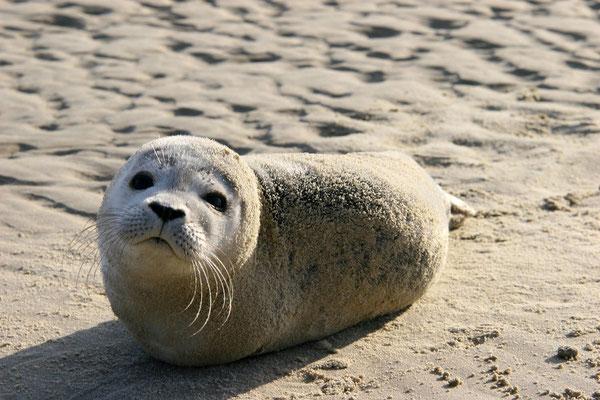ein junger von der Mutter verlassener Heuler am Strand