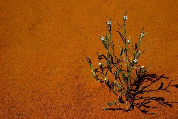 Einige Pflanzen können überleben, an manchen Stellen wachsen nach Regenfällen Dünengräser.