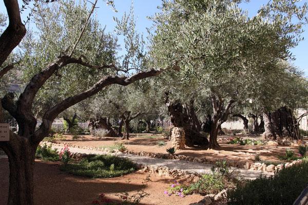 Der Garten Gethsemane mit uralten Olivenbäumen bestückt