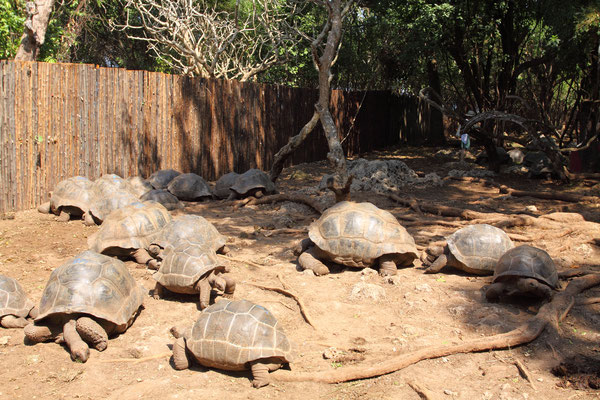 Die eigentliche Attraktion auf der Insel sind die Riesenschildkröten, die im Jahre 1919 als Geschenk des Gouverneurs von den Seychellen mitgebracht wurden.