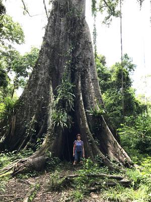 Die Mutter aller Bäume, einer der vielen Urwaldriesen