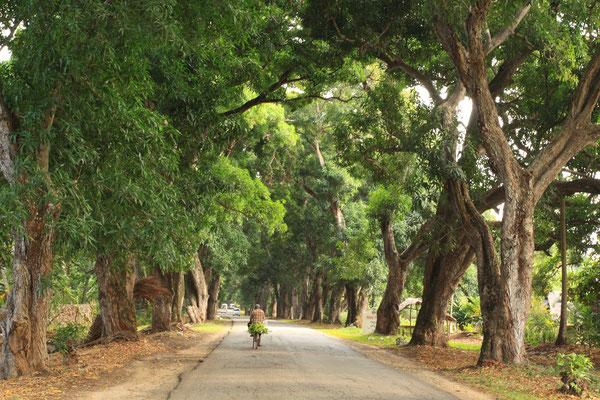 Fährt man von der Ostküste nach Sansibar City, passiert man diese wunderschöne Allee aus alten Mangobäumen, ein Geschenk des Sultans von Oman.