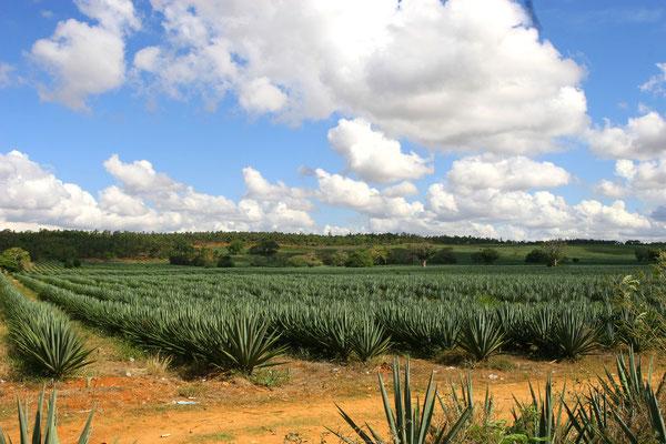 Sisal-Plantage an der Malindi road