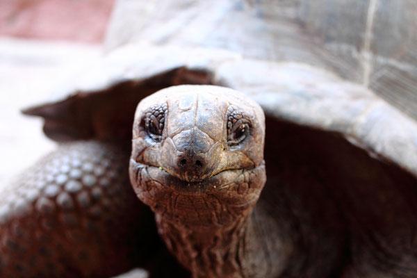 Die Schildkröten fühlten sich hier wohl und vermehrten sich. Aber durch Diebstahl ging ihre Zahl trotz weiterer Zukäufe rapide zurück. Daher werden sie heute von Pflegern bewacht.