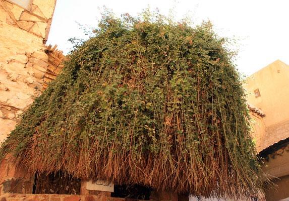 aus dem brennenden Dornbusch versprach Gott Moses die Rettung seines Volkes, ein Ableger des Busches im Katharinenkloster unterhalb des Dschebel Musa