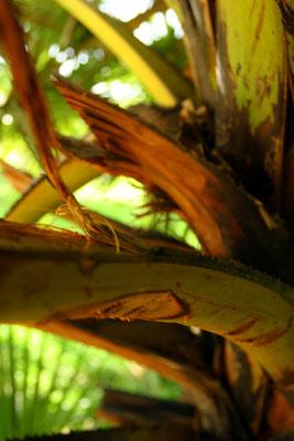 Die Blätter dieses Baumes haben eine scharfe, gezackte Rinde, mit denen die Roten Khmer den Opfern die Kehle durchschnitt