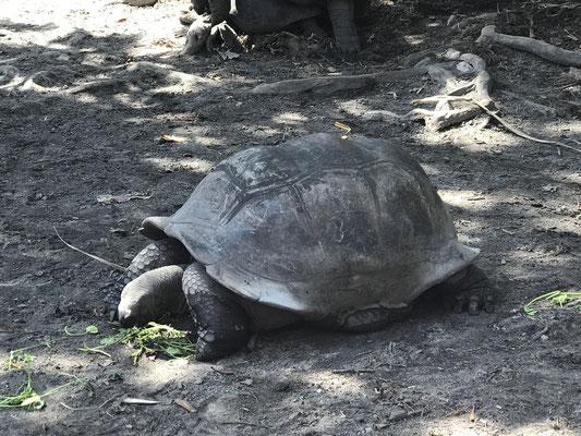 Auf La Digue leben etwa 220 Riesenschildkröten frei und werden von den Einwohnern liebevoll versorgt