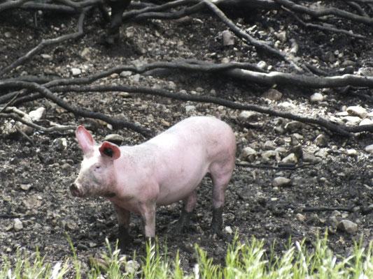 Schweinehaltung im Wald
