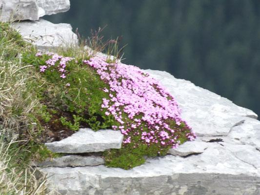 Gipfelansichten (Soiernspitze): Stengelloses Leimkraut
