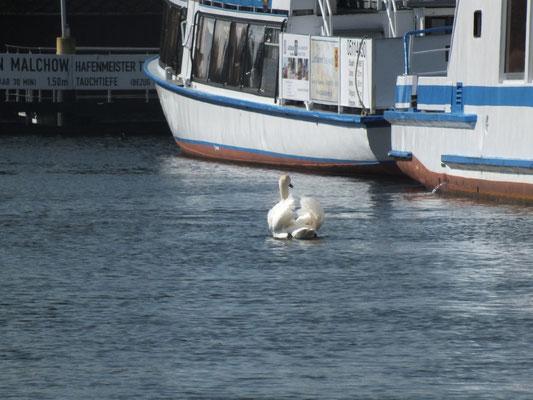 Schwan am Hafen