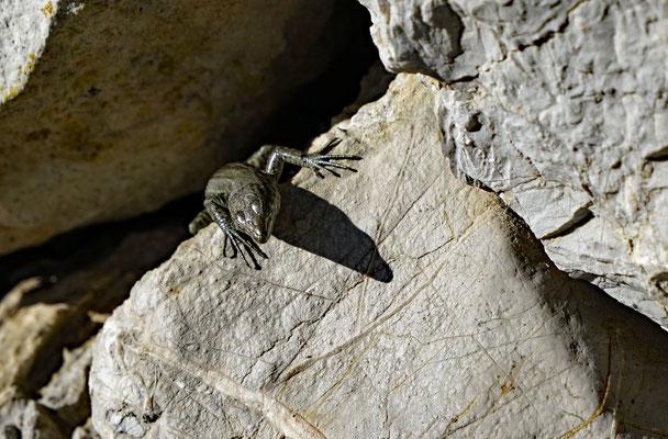 Die Dragonera-Eidechse (Podarcis lilfordi ssp. giglioli) ist eine endemische Unterart der Balearen-Eidechse.