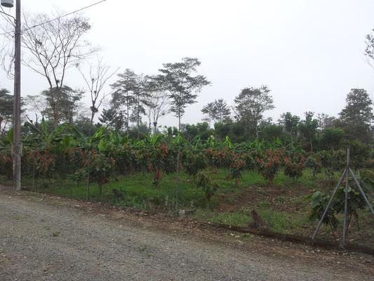 Bananen und Kakaoplantage