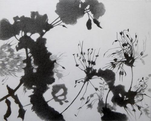 Schatten, Pelargonie IV, 2018, Bleistift auf Papier auf Holz, 20 x 25 cm