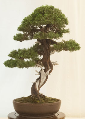 Juniperus chinensis di Antonio Tedesco